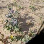 Le chardon bleu des dunes