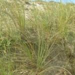 Les oyats fixant les sables vagabonds