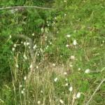 La lagure ovale ou queue de lièvre