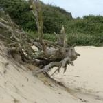 Un vieux bois dévoré par les sables